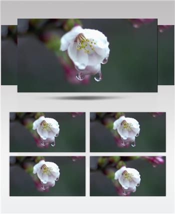小清新美景系列款Y5796滴水的花 led视频素材
