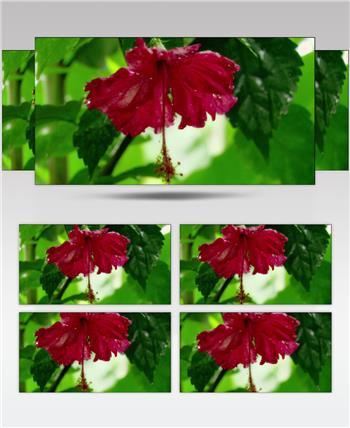 0606-带露珠的花朵-自然美景-植物类